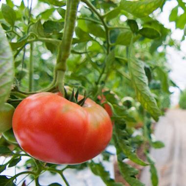 夏の野菜トマト